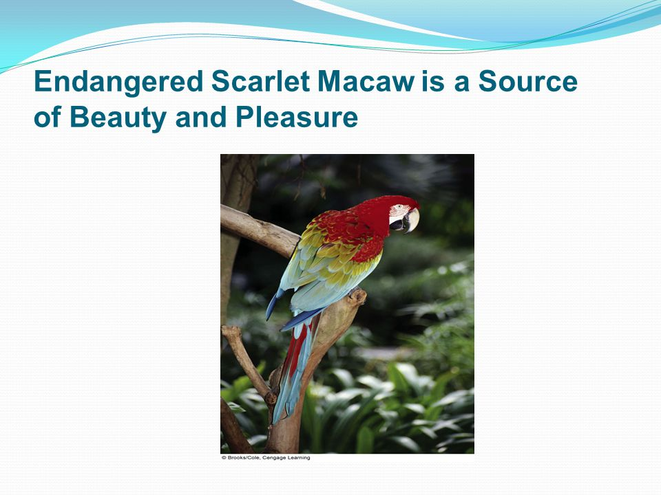 Endangered Scarlet Macaw is a Source of Beauty and Pleasure