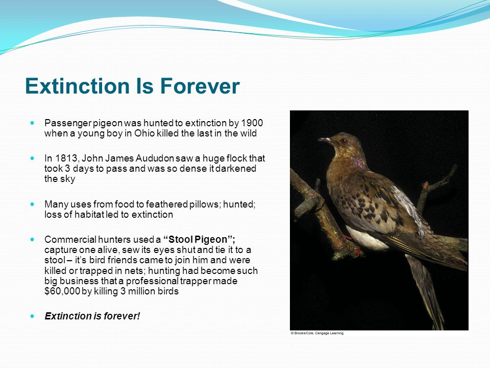 Extinction Is Forever Passenger pigeon was hunted to extinction by 1900 when a young boy in Ohio killed the last in the wild.