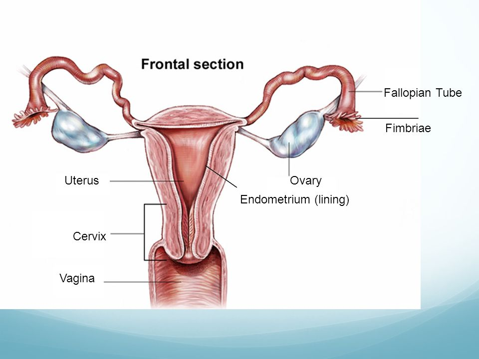 Fallopian Tube Fimbriae Uterus Ovary Endometrium (lining) Cervix Vagina