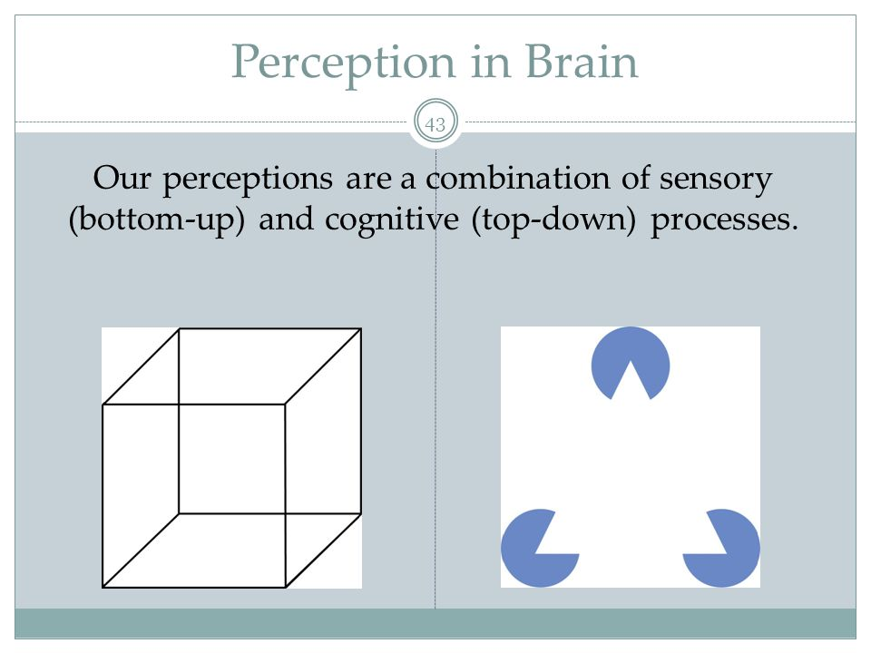 Perception in Brain Our perceptions are a combination of sensory (bottom-up) and cognitive (top-down) processes.