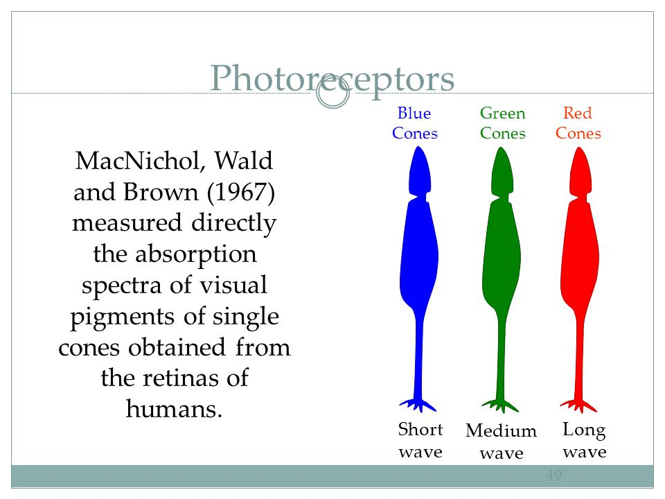 Photoreceptors Blue. Cones. Green. Cones. Red. Cones.
