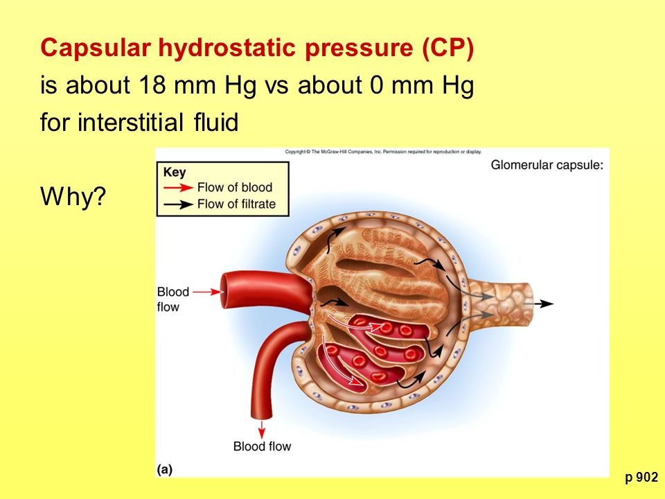 Capsular hydrostatic pressure (CP) is about 18 mm Hg vs about 0 mm Hg