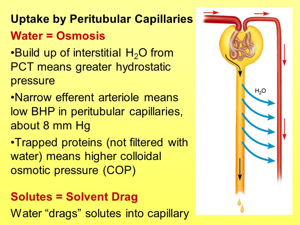 Uptake by Peritubular Capillaries