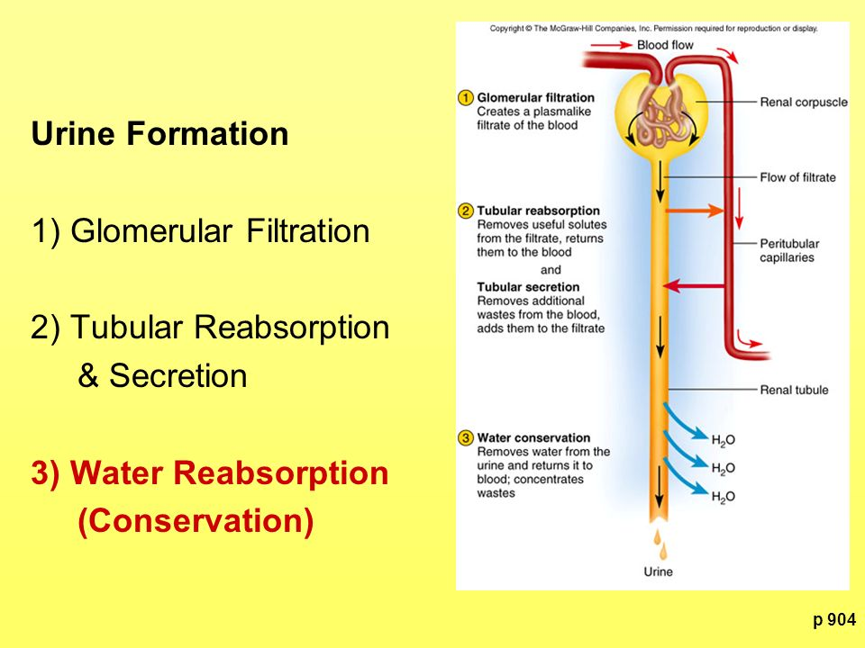 1) Glomerular Filtration 2) Tubular Reabsorption & Secretion