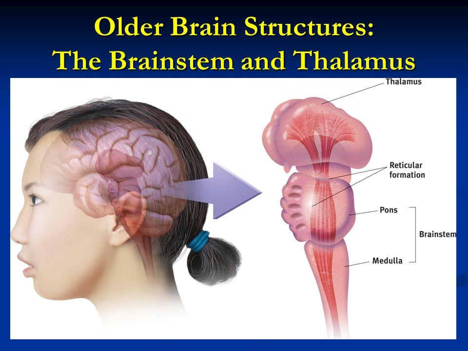 Older Brain Structures: The Brainstem and Thalamus