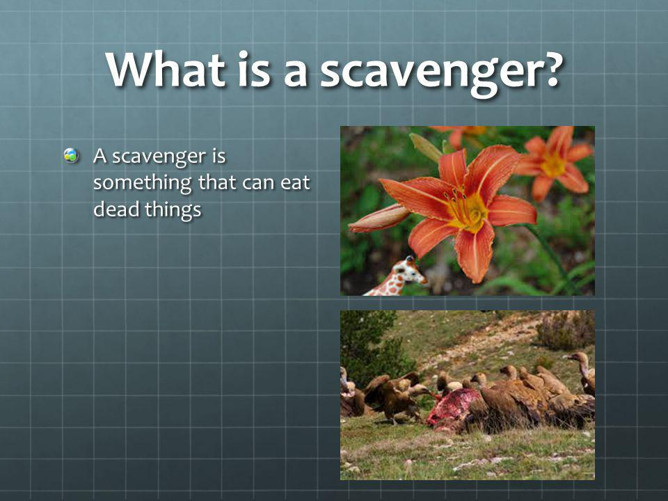 What is a scavenger A scavenger is something that can eat dead things