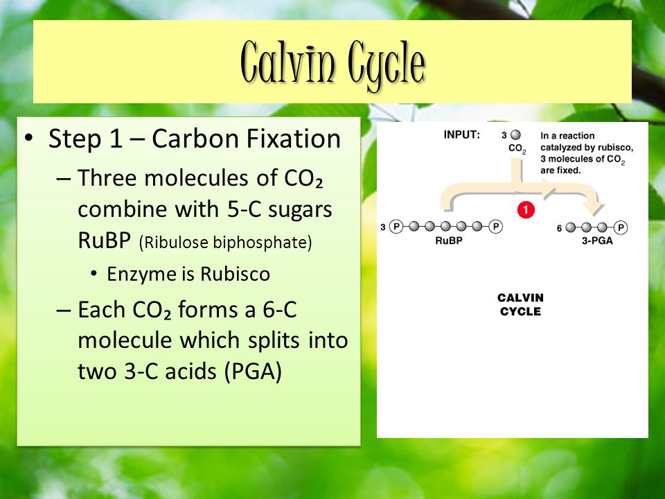 Calvin Cycle Step 1 – Carbon Fixation