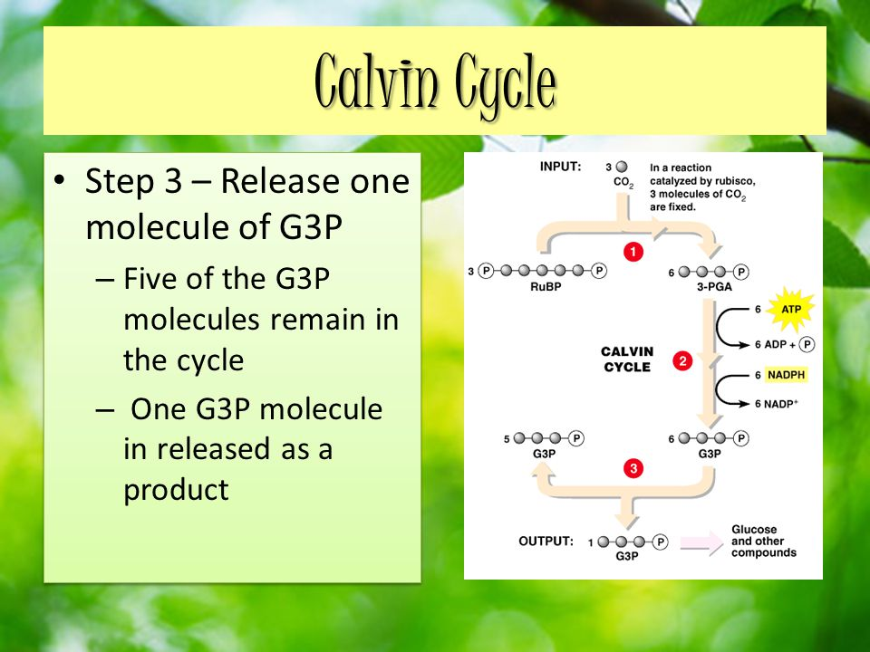 Calvin Cycle Step 3 – Release one molecule of G3P