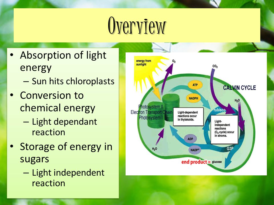 Overview Absorption of light energy Conversion to chemical energy