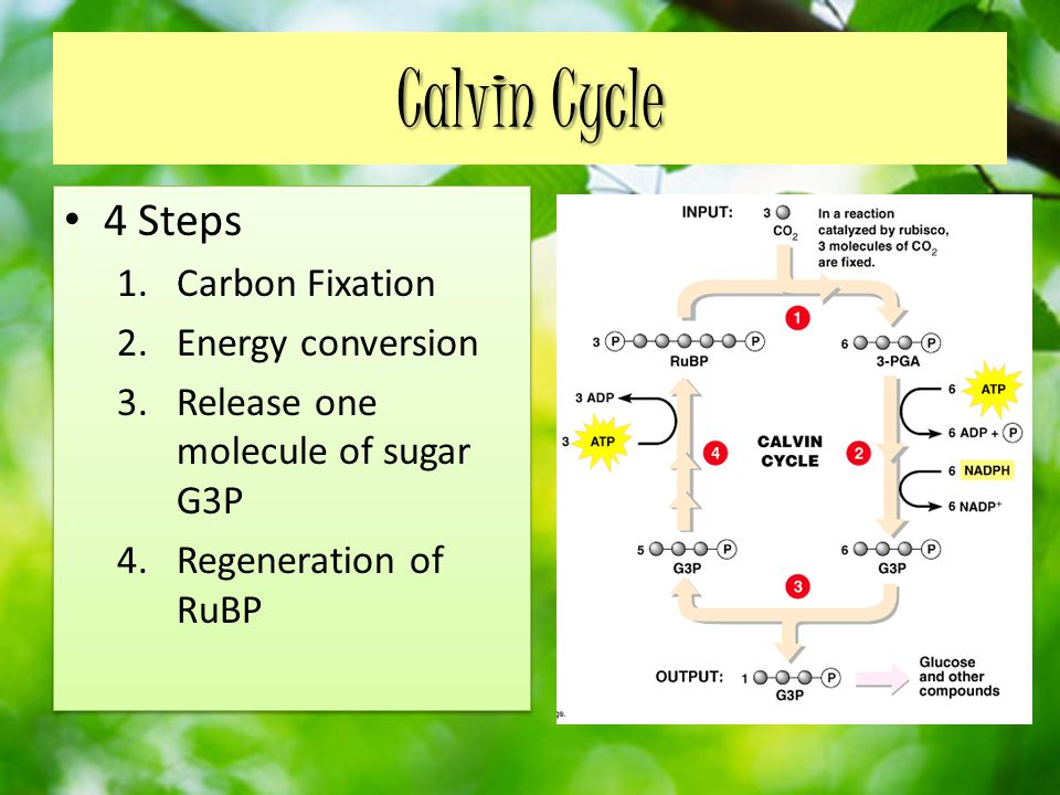 Calvin Cycle 4 Steps Carbon Fixation Energy conversion