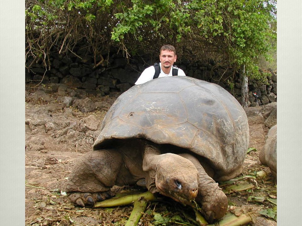 The Galápagos tortoise or Galápagos giant tortoise the largest living species of tortoise and 10th-heaviest living reptile, reaching weights of over 400 kg (880 lb) and lengths of over 1.8 meters (5.9 ft).