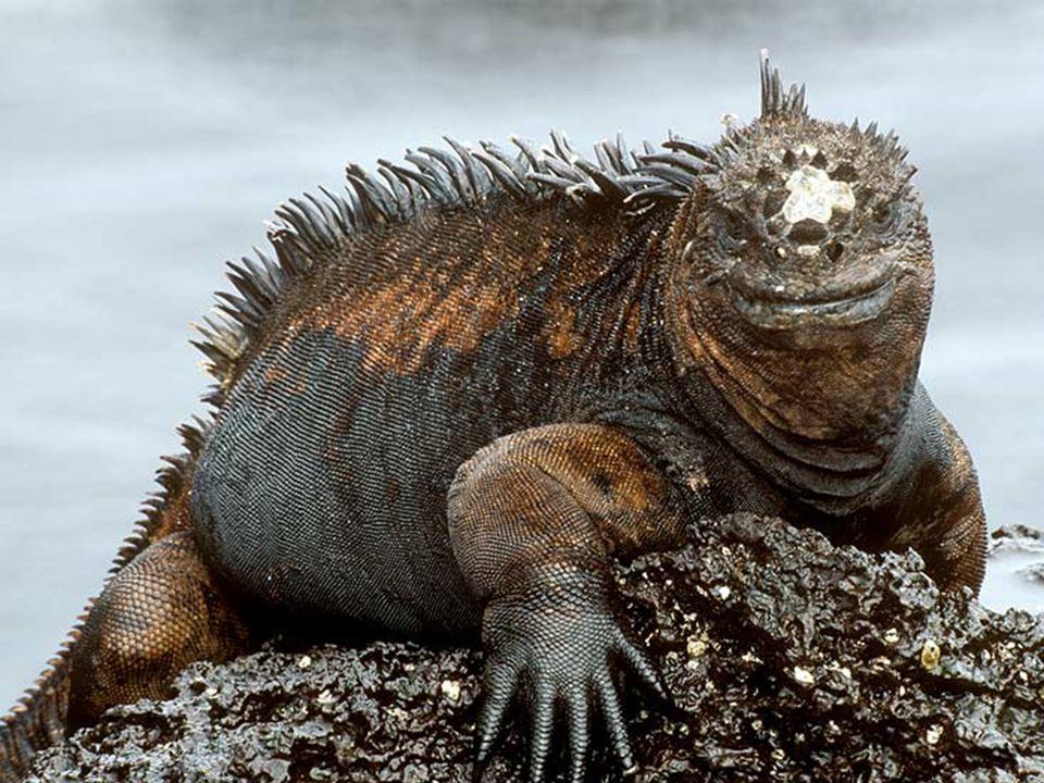 Only swimming marine iguana-