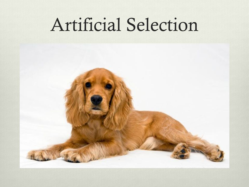 Artificial Selection Breeder choices which traits to perpetuate ( dogs descended from wolves)