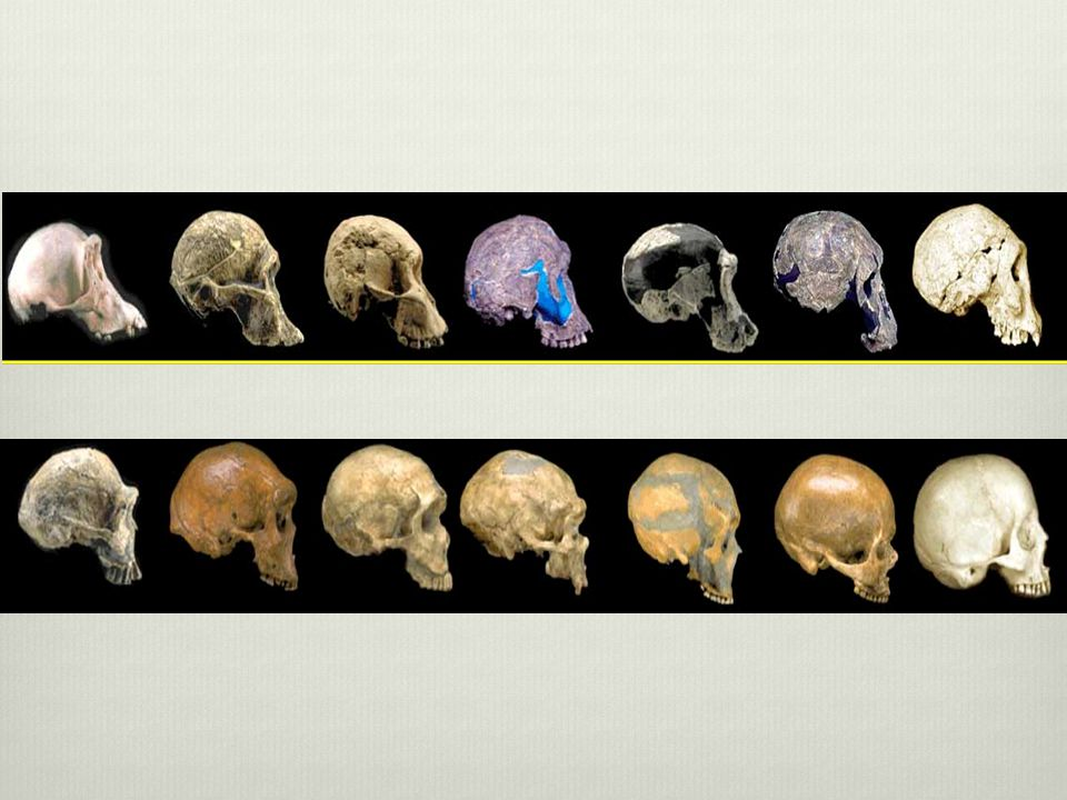 8 million years ago humans chimpanzees - dozen human like species called hominids