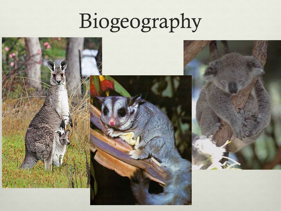 Biogeography A mammal of an order (Marsupialia) whose members are born incompletely developed and are typically carried and suckled.