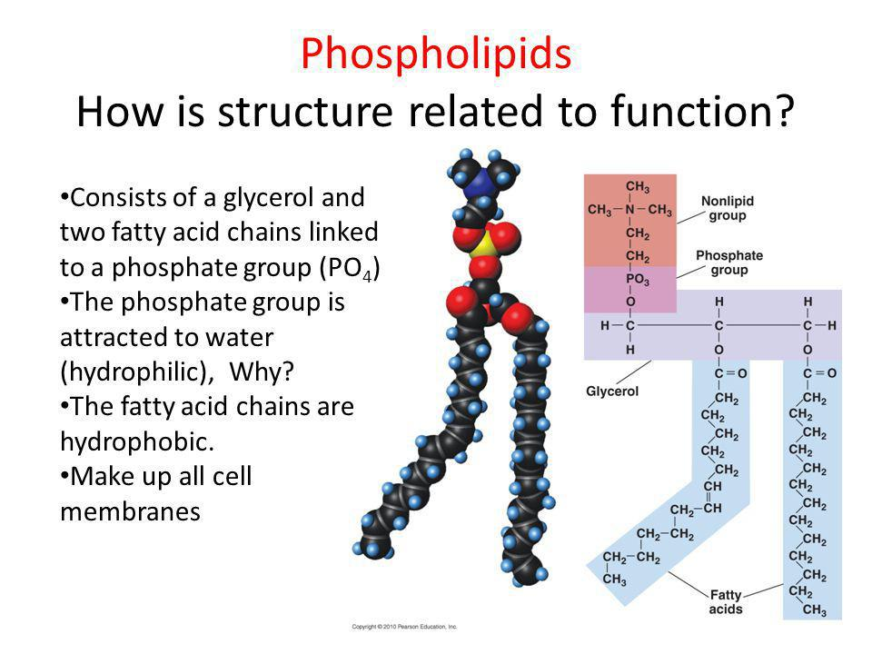 Phospholipids How is structure related to function