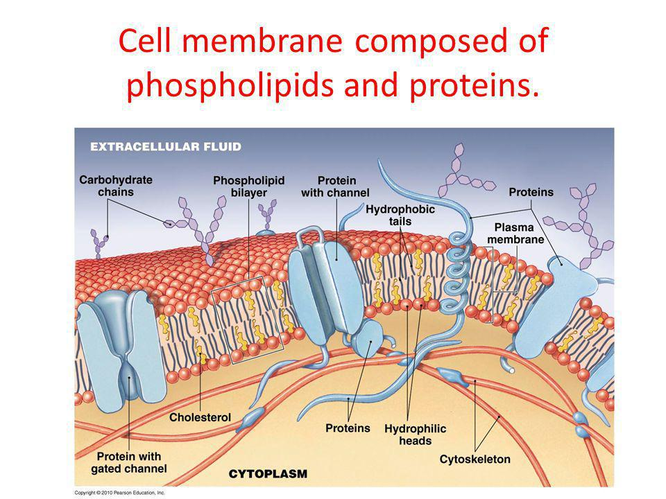 Cell membrane composed of phospholipids and proteins.