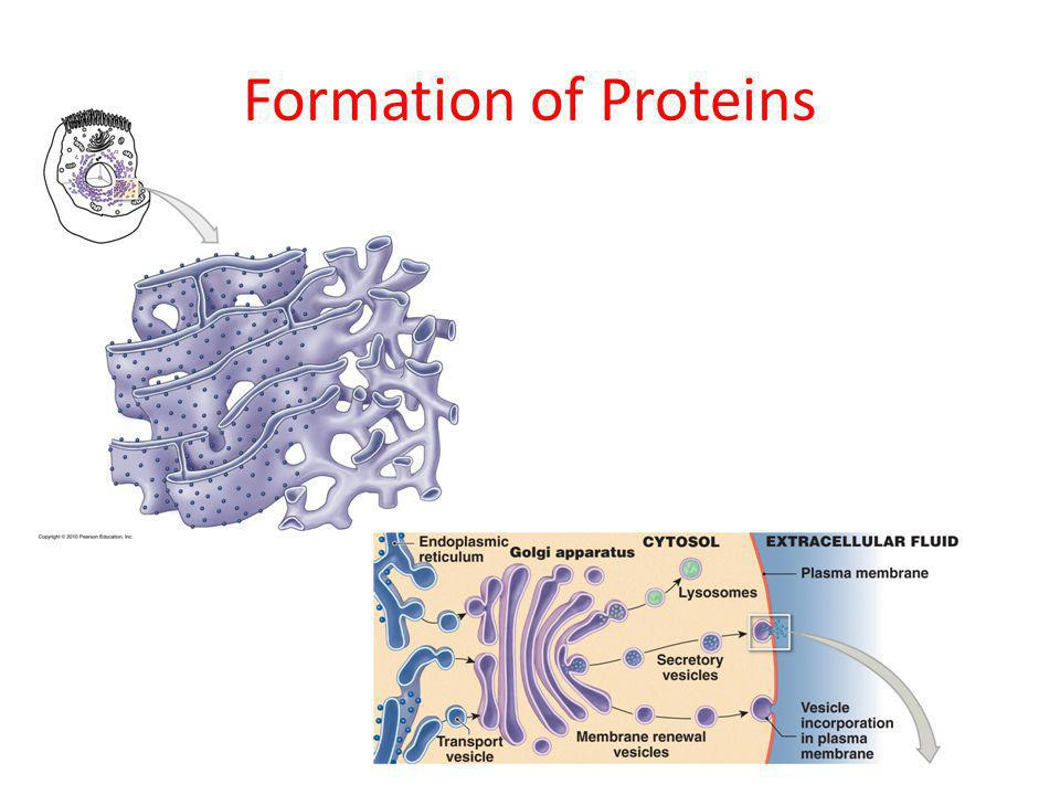 Formation of Proteins