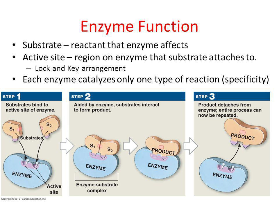 Enzyme Function Substrate – reactant that enzyme affects