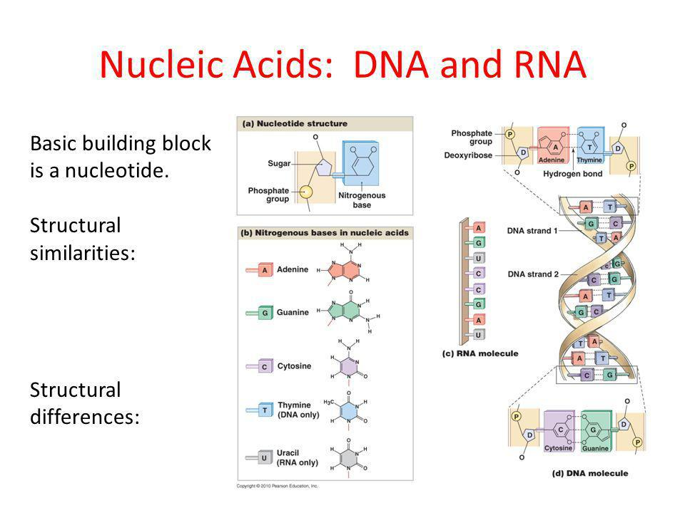 Nucleic Acids: DNA and RNA