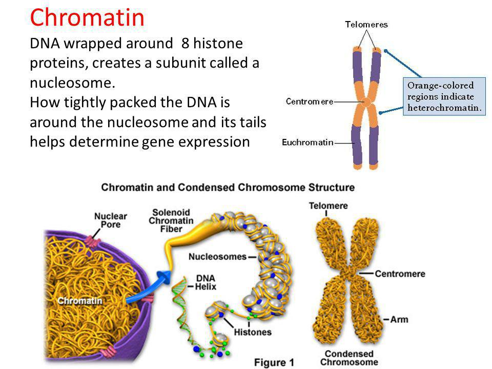 Chromatin DNA wrapped around 8 histone proteins, creates a subunit called a nucleosome.