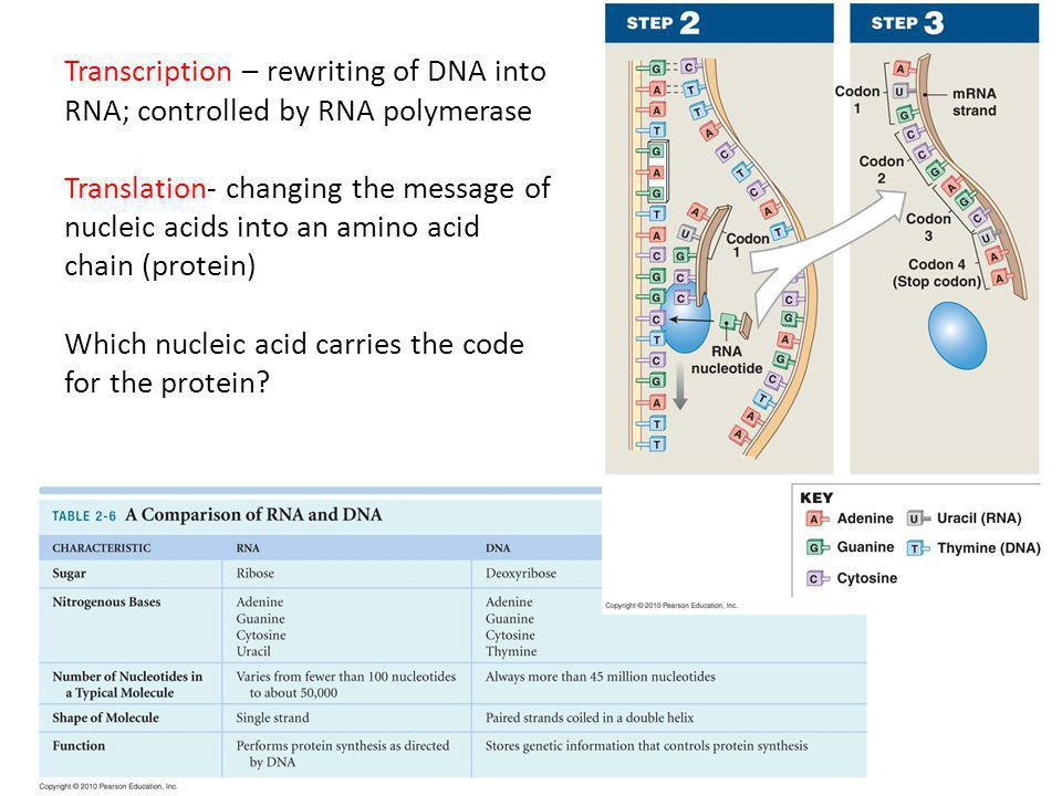 Transcription – rewriting of DNA into RNA; controlled by RNA polymerase Translation- changing the message of nucleic acids into an amino acid chain (protein) Which nucleic acid carries the code for the protein
