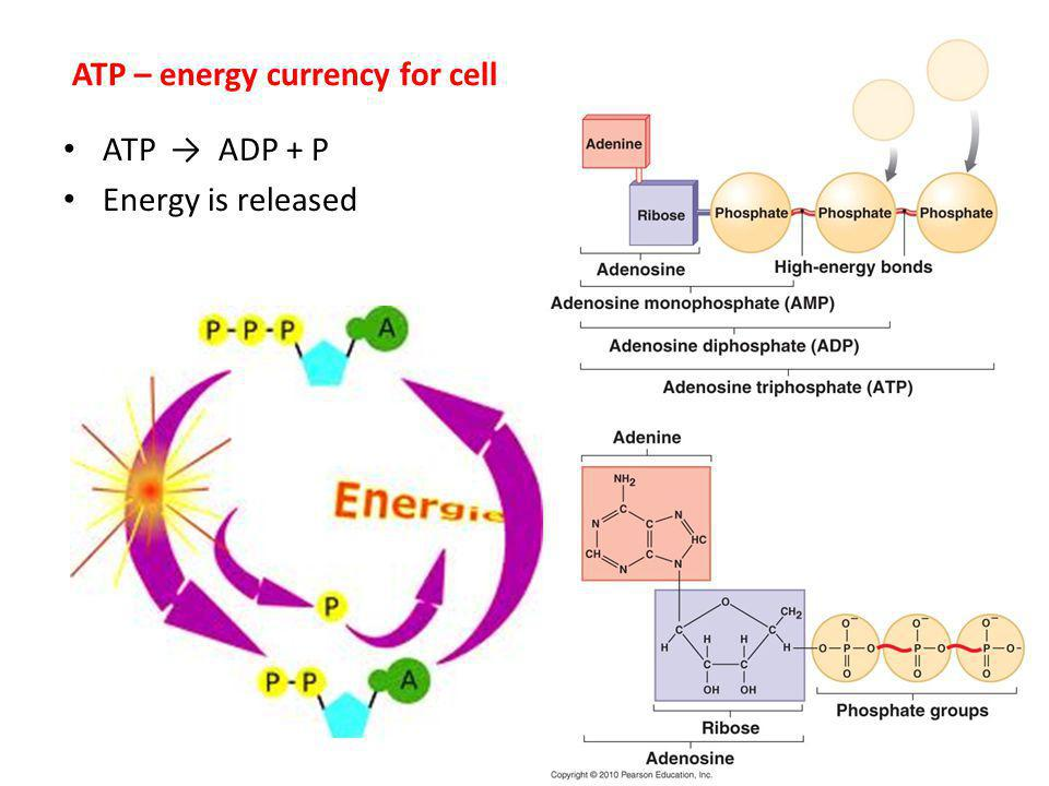 ATP – energy currency for cell