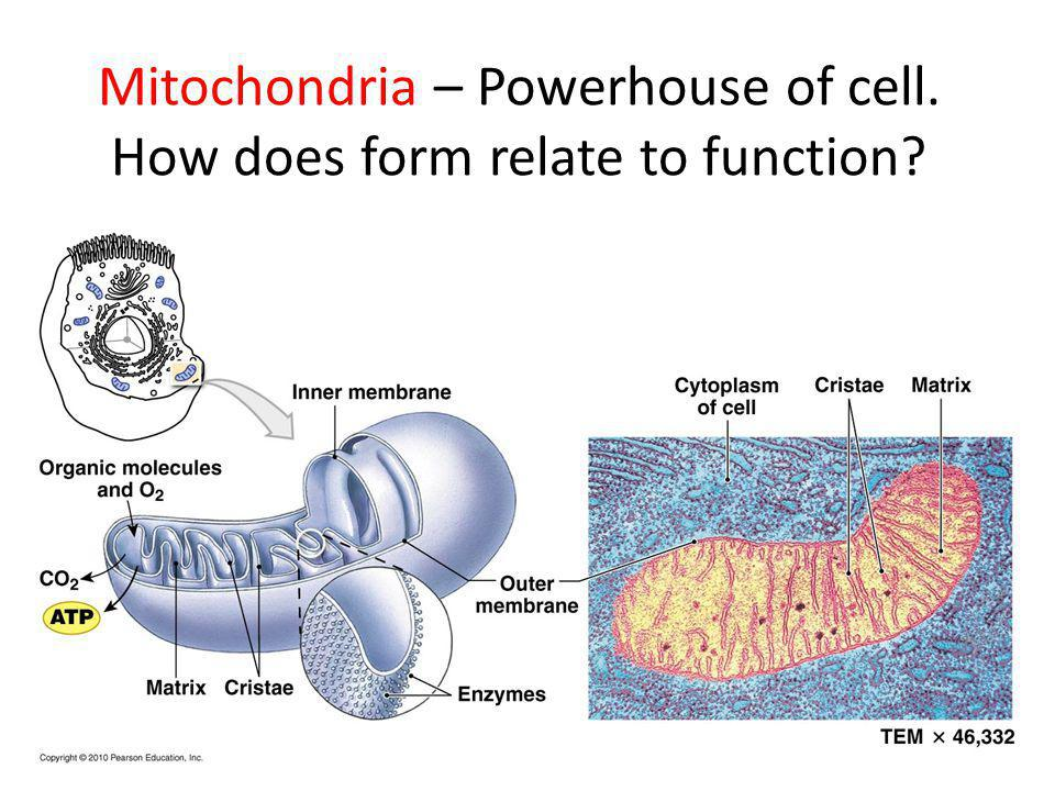 Mitochondria – Powerhouse of cell. How does form relate to function
