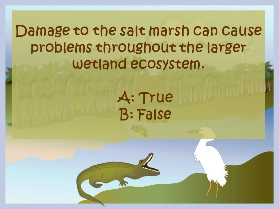Damage to the salt marsh can cause problems throughout the larger wetland ecosystem.
