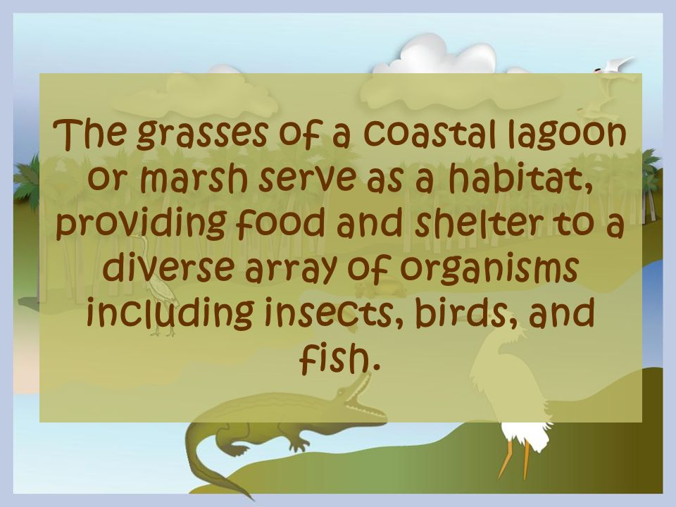 The grasses of a coastal lagoon or marsh serve as a habitat, providing food and shelter to a diverse array of organisms including insects, birds, and fish.