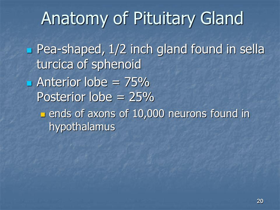 Anatomy of Pituitary Gland