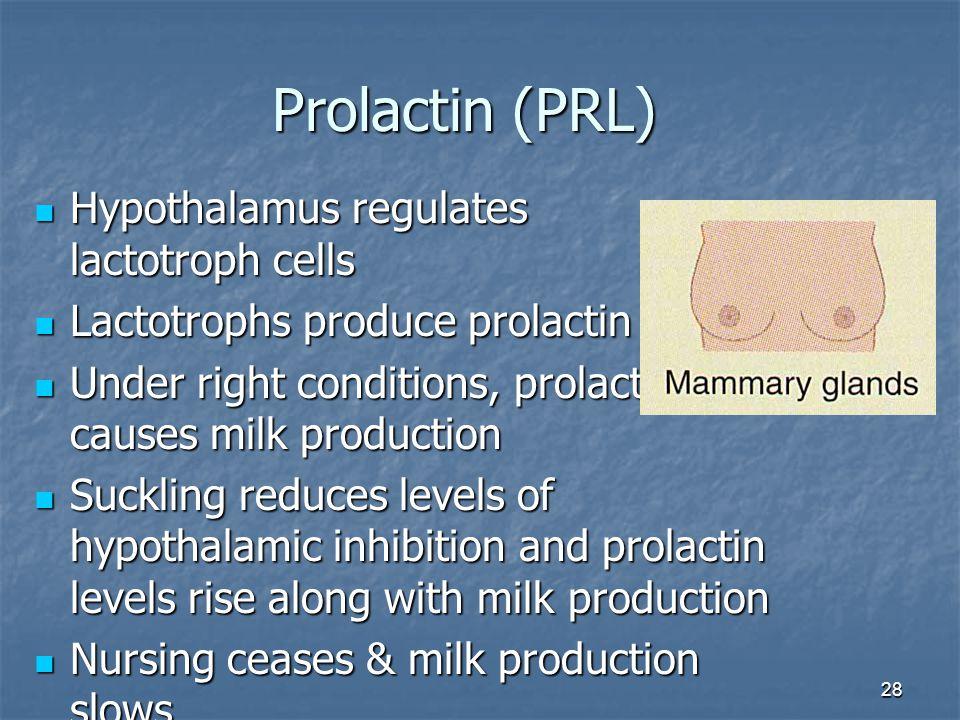 Prolactin (PRL) Hypothalamus regulates lactotroph cells