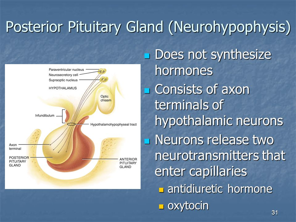 Posterior Pituitary Gland (Neurohypophysis)
