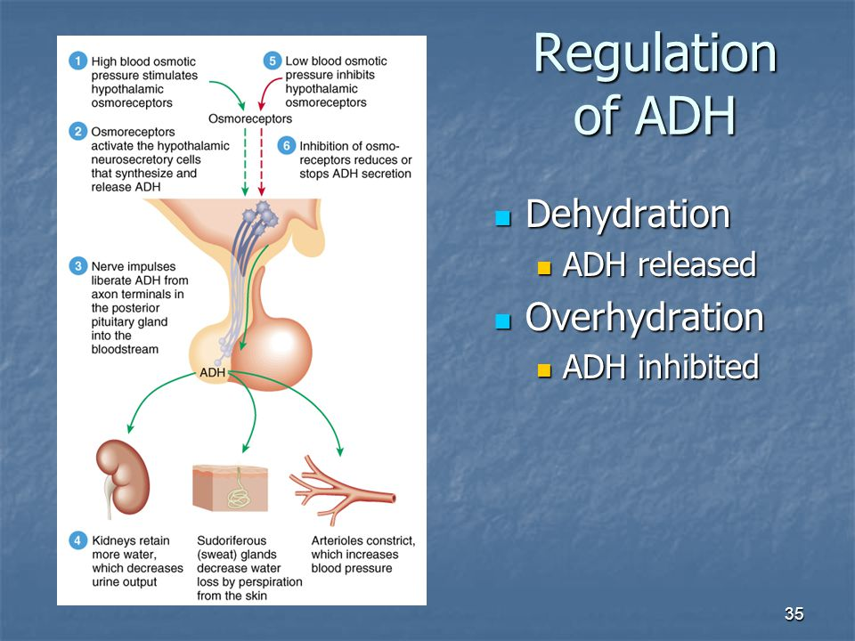 Regulation of ADH Dehydration ADH released Overhydration ADH inhibited
