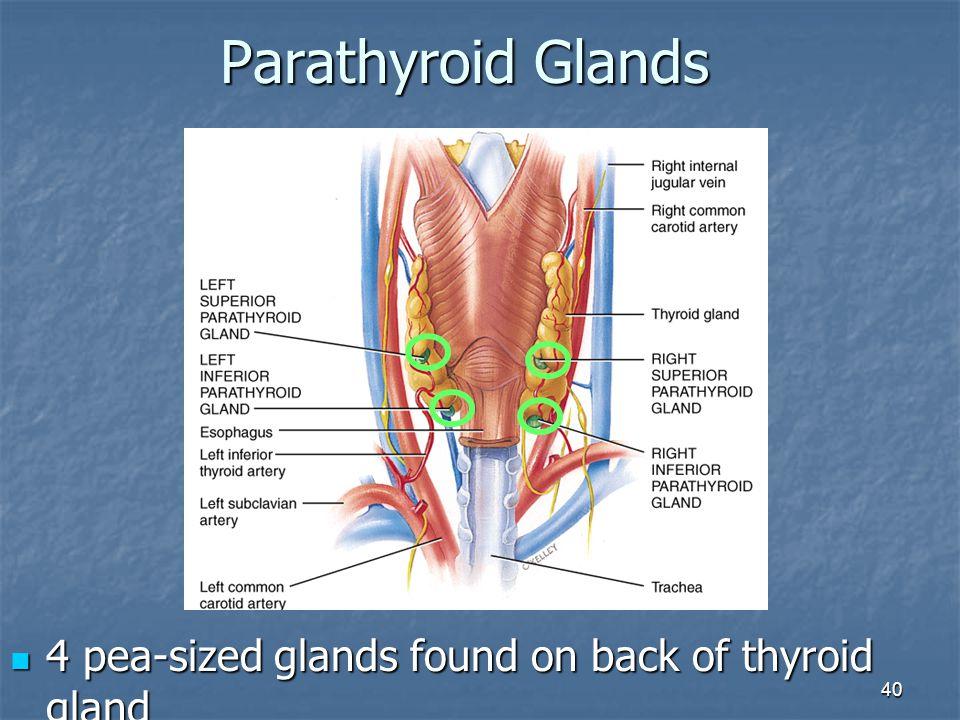 Parathyroid Glands 4 pea-sized glands found on back of thyroid gland