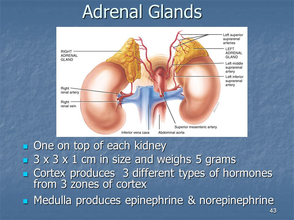 Adrenal Glands One on top of each kidney