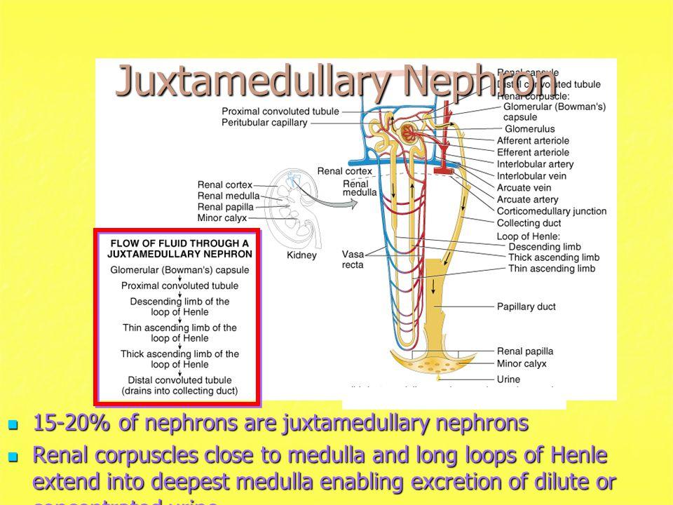 Juxtamedullary Nephron