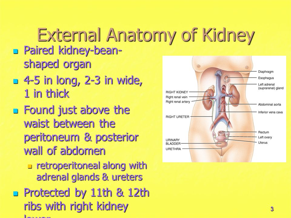 External Anatomy of Kidney