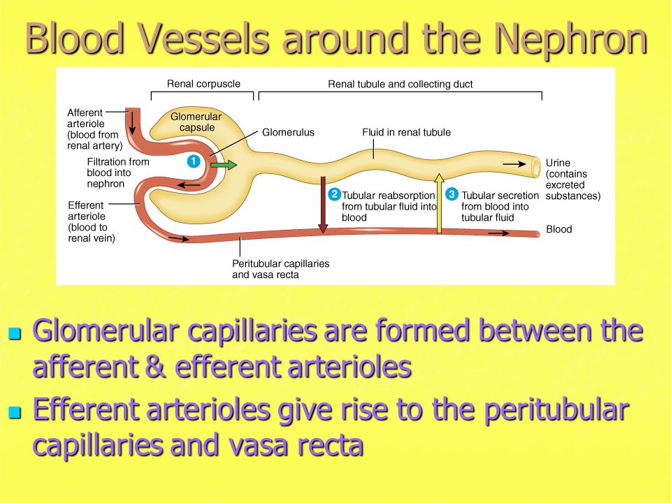 Blood Vessels around the Nephron