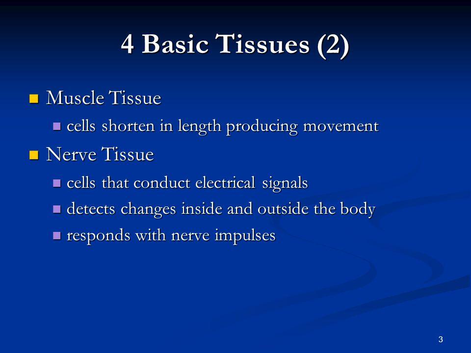4 Basic Tissues (2) Muscle Tissue Nerve Tissue