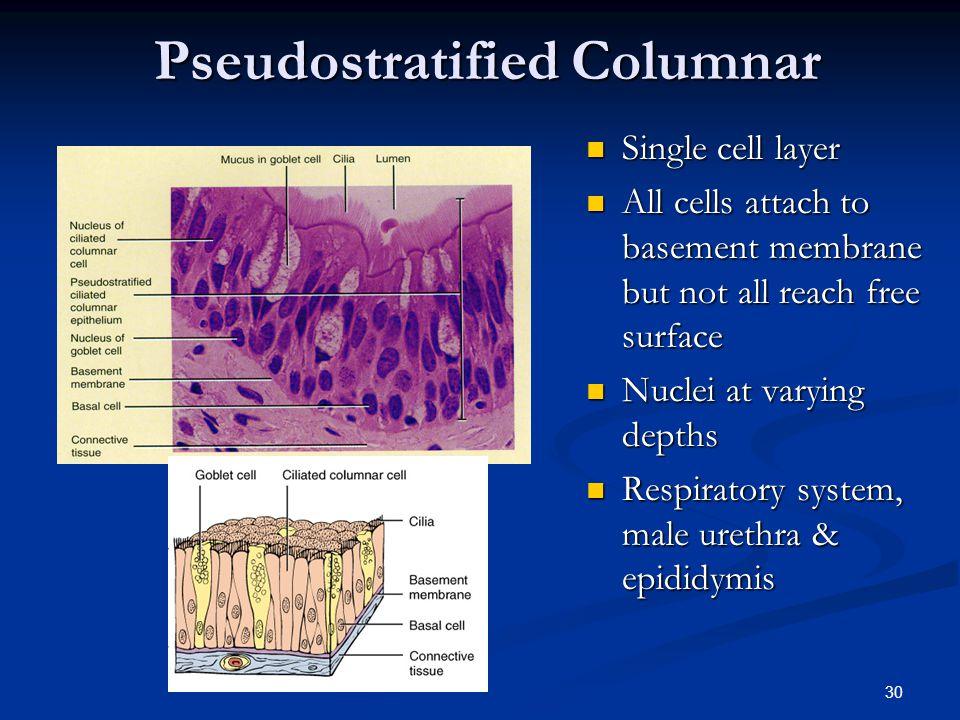 Pseudostratified Columnar
