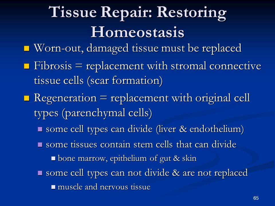 Tissue Repair: Restoring Homeostasis