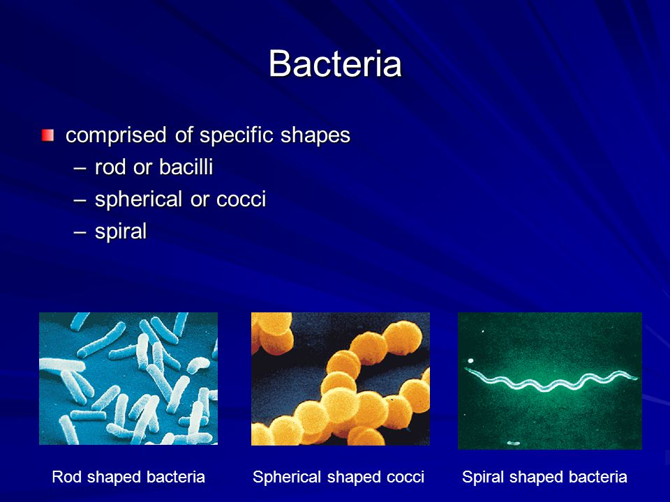 Bacteria bacterial cells multiply by binary fission