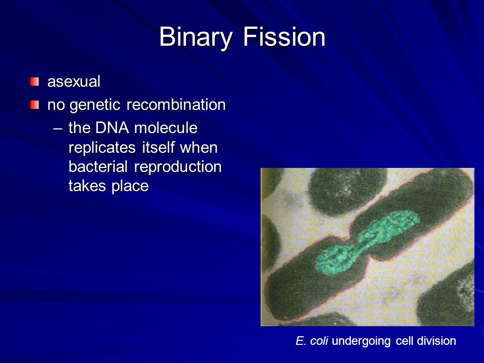 Binary Fission asexual no genetic recombination