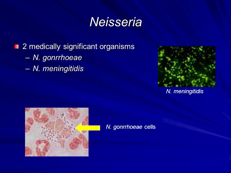 Neisseria 2 medically significant organisms N. gonrrhoeae
