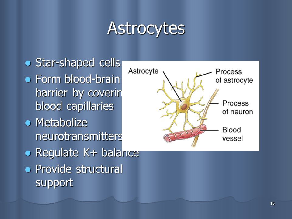 Astrocytes Star-shaped cells