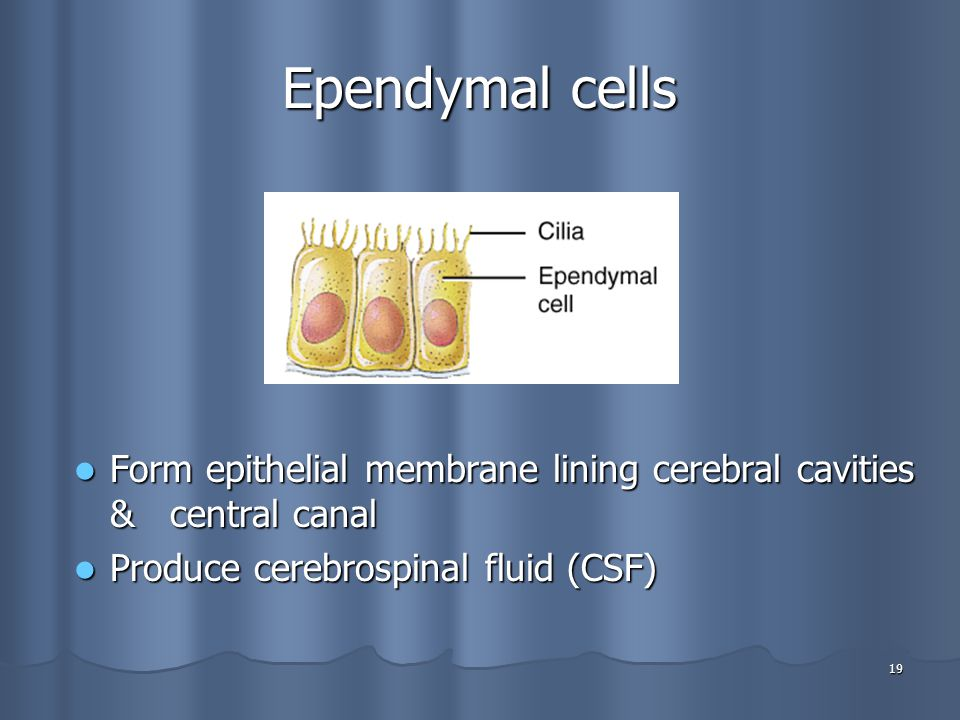 Ependymal cells Form epithelial membrane lining cerebral cavities & central canal.