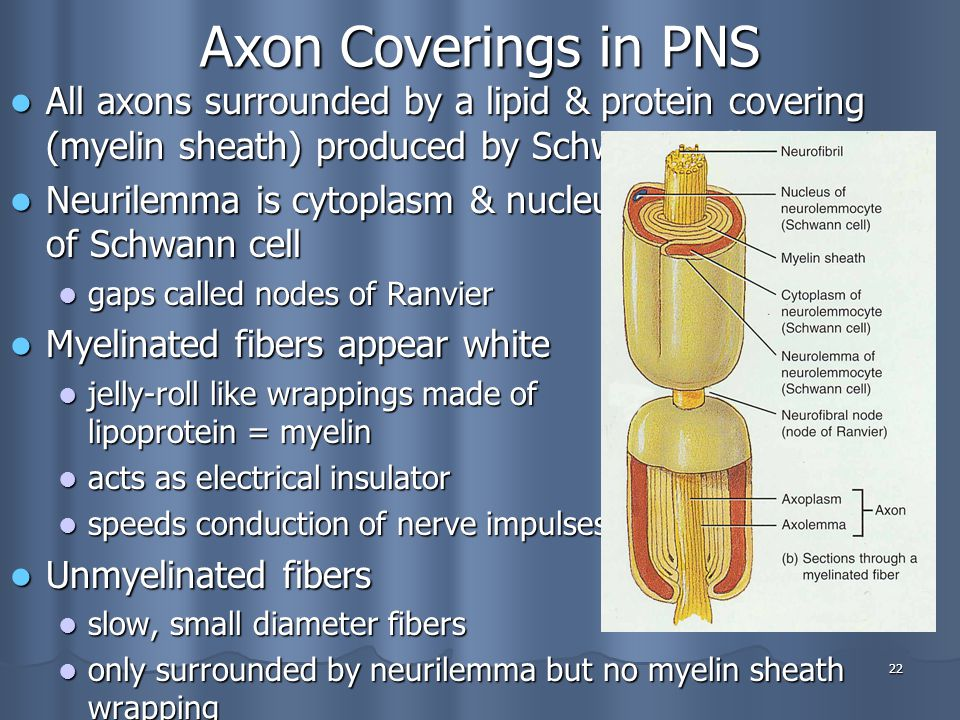 Axon Coverings in PNS All axons surrounded by a lipid & protein covering (myelin sheath) produced by Schwann cells.