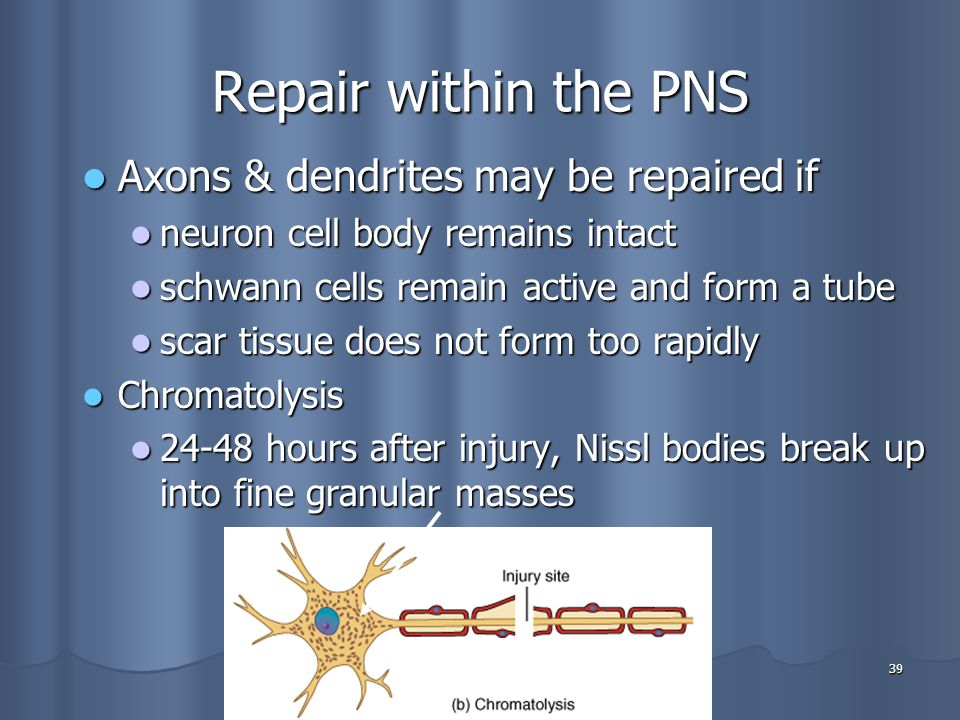 Repair within the PNS Axons & dendrites may be repaired if
