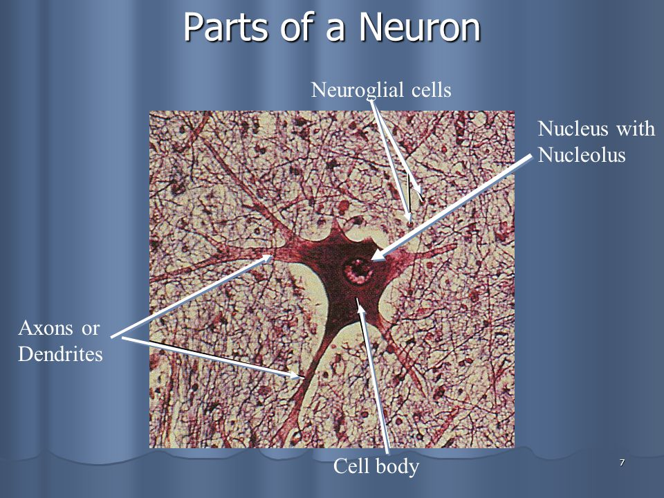 Parts of a Neuron Neuroglial cells Nucleus with Nucleolus